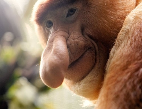Victo, a 10-year-old male Proboscis monkey (Nasalis larvatus), pauses during an afternoon token feeding session at the Singapore Zoo September 4, 2006. REUTERS/Tim Chong (SINGAPORE)